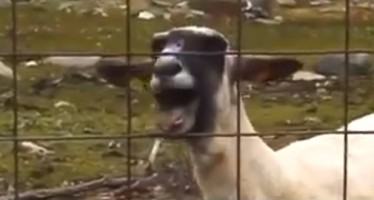 Parodie Clip Taylor Swift : I Knew You Were Trouble x Human goat !
