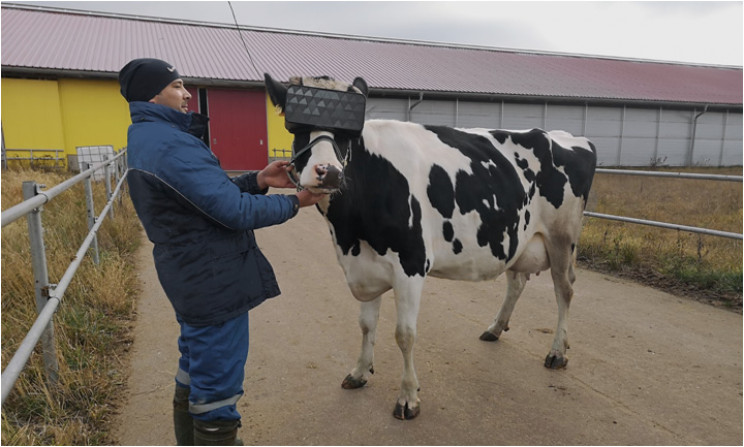 The VR goggles were made to fit the cows' heads, Source: Ministry of Agriculture and Food of the Moscow Region